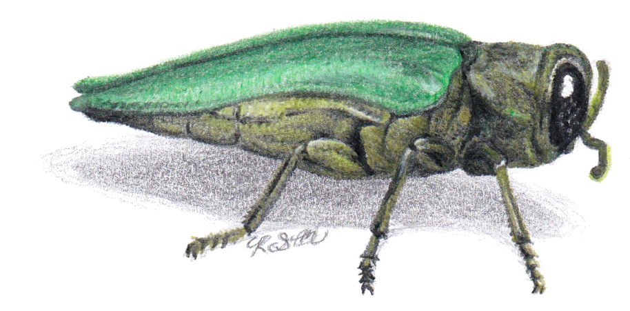 Emerald Ash Borer side view color pencil illustration.