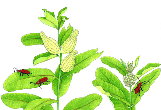 Painting of Red Milkweed Beetles on Milkweed plants